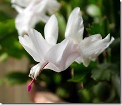 White Xmas Cactus_3